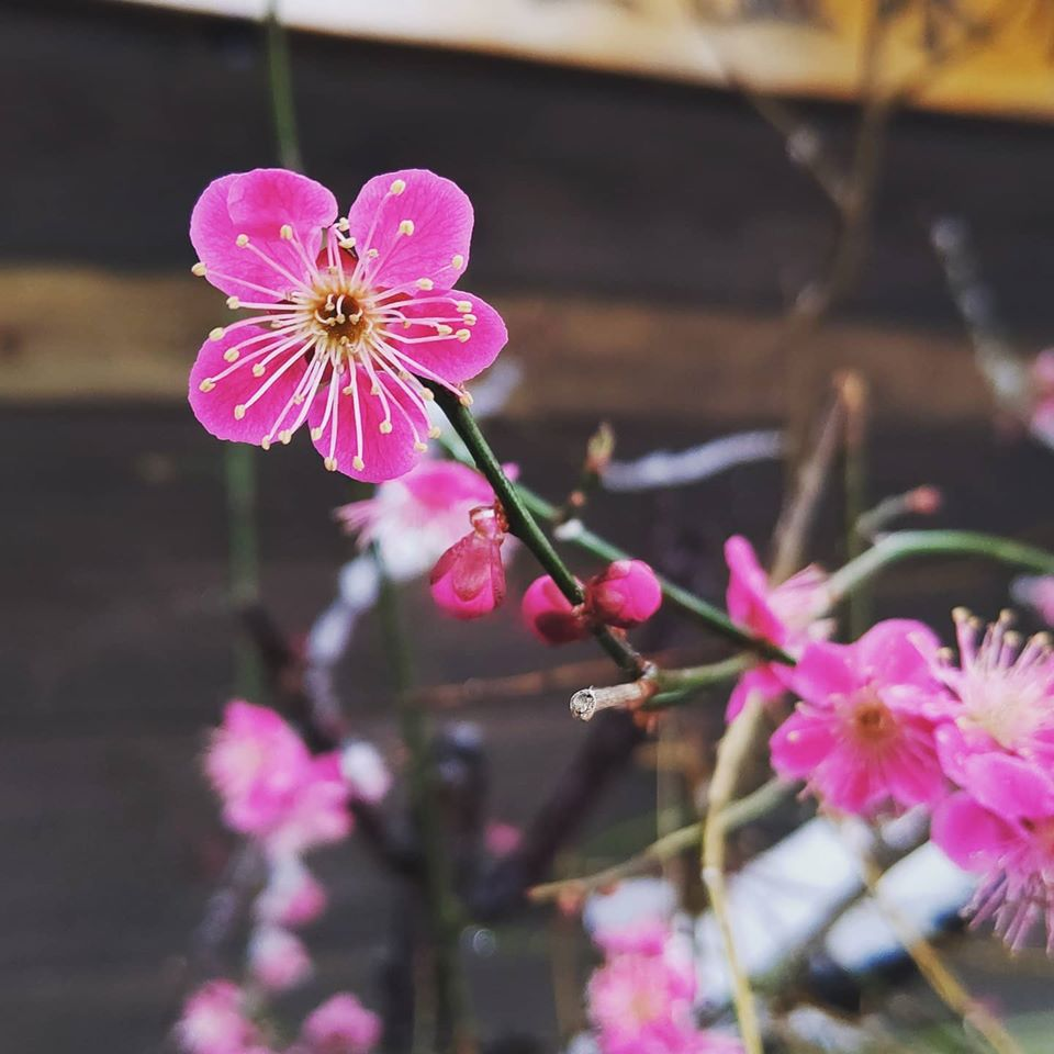 満開の梅の花に雪が積もりました